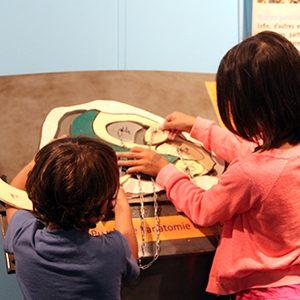 Maquette de l'anatomie de l'huître dans la cabane bleue